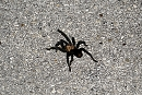 Tarantule - Amistad National Recreation Area
